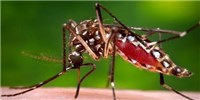 image: <em>Aedes aegypti</em> Genome Assembled From Scratch