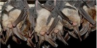 image: White-Nose Syndrome Fungus Infects Bats in Texas