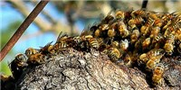 image: In Certain Social Bees, Gut Microbiomes Follow Phylogeny