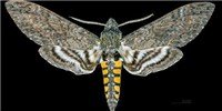 image: Sweet Trick, Hawkmoths