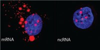 image: Noncoding RNA Helps Cells Recover from DNA Damage