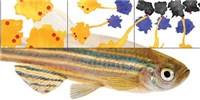 image: Infographic: How the Zebrafish Got Its Stripes