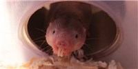 image: Naked Mole Rats Can Survive Long Periods Without Oxygen