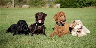Genetic Analysis Reveals the Evolutionary History of Dogs