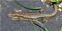 image: Warmer Temps Tied to Altered Microbiome in Lizards