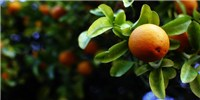 image: Geneticists Engineer a Virus to Fight Citrus Disease