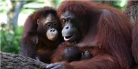 image: Orangutans Nurse Their Young for More than Eight Years