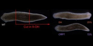 Flatworms' Synapses Steer Body Shape