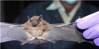 image: Bats a Major Global Reservoir of Coronaviruses