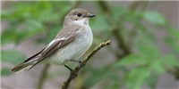 image: Flycatchers' Song Preference Linked to Genes
