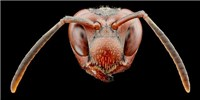 image: Genes Tied to Wasps Recognizing Faces
