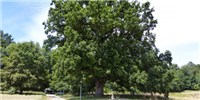 image: 234-Year-Old Tree Has Impressively Stable Genome