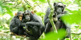 Human Presence Influences Chimps' Hunting Habits
