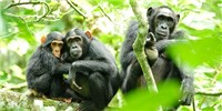 image: Human Presence Influences Chimps' Hunting Habits