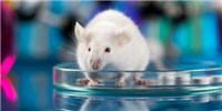 image: Analysis of Mouse Genes Reveals Novel Disease Models