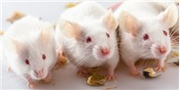 image: Molecular Trigger for Organ Rejection in Mice Identified