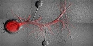 Memories Erased from Snail Neurons