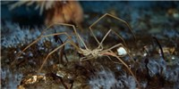 image: Sea Spiders Breathe with Their Guts