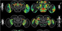 image: Behavior Circuits Mapped in Whole Fruit Fly Brain