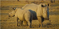 image: IVF to Revive Endangered White Rhino Population