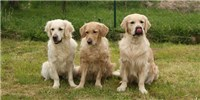 image: Dogs with Duchenne Treated with Gene Therapy
