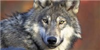 image: Great Lakes Gray Wolf to Retain Endangered Status