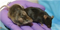 image: A Database of Genetic Differences Among Lab Mice