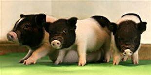 Jumping Genes Inactivated with CRISPR in Pigs