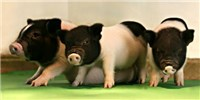 image: Jumping Genes Inactivated with CRISPR in Pigs