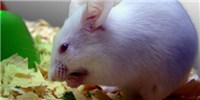 image: Studies: Ketogenic Mice Live Longer, Healthier Lives