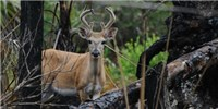 Optimism for Key Deer After Hurricane Irma