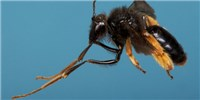 image: Image of the Day: Leggy Bees