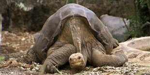 Second Chance for Lost Galapagos Tortoises?