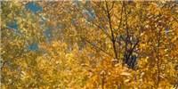 image: North American Ash on Brink of Extinction
