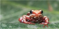 image: How Poison Frogs Avoid Poisoning Themselves