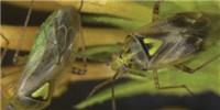 image: Insect Deploys Anti-Antiaphrodisiac