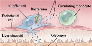 Infographic: Macrophages Around the Body