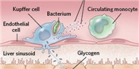 image: Infographic: Macrophages Around the Body