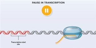 Infographic: Polymerase Pausing Halts Transcription