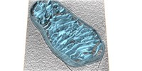 image: Image of the Day: Mitochondria, Live and in Color