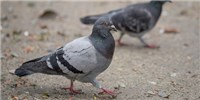 image: Pigeons Can Switch Tasks More Quickly than Humans
