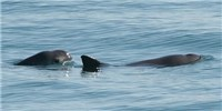 image: US Navy Dolphins to Capture Vaquitas to Save Them from Extinction