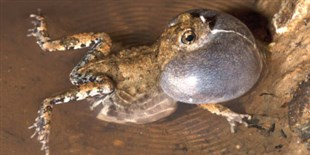 These Flies Hijack Frogs' Love Calls