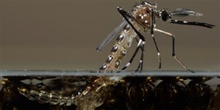GM Mosquitoes Closer to Release in U.S.