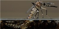 image: GM Mosquitoes Closer to Release in U.S.