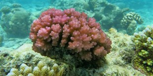 Corals' pH Sensor Identified