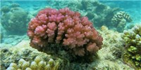 image: Corals' pH Sensor Identified