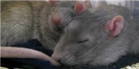image: Growth-Promoting Protein Linked to REM Sleep in Rats