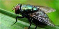 image: Flies' Feet Can Spread Bacteria