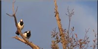 image: Australian Magpie-Lark Duet